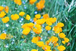 Poppy-California-Yellow-Non-GMO-Heirloom-Flower-Garden-Seeds-Sow-No-GMO-USA