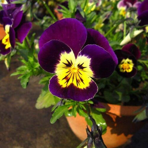1 Pack 200 Pansy Seeds Beautiful Perennial Home Garden Bonsai Flowers Seed S078