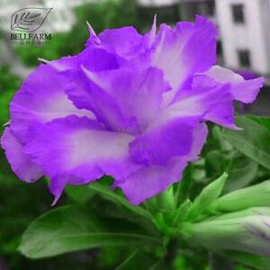Rosa-del-DESIERTO-adenium-Semillas-luz-purpura-petalos-de-doble-con-pocos-flor-de-color-blanco