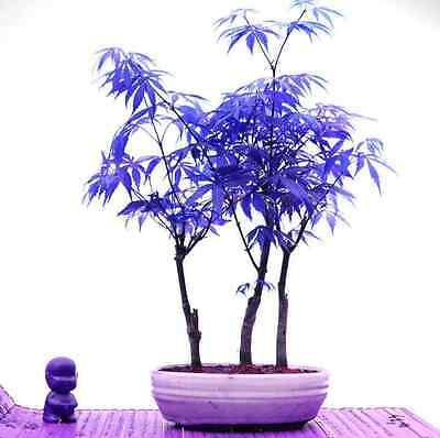Blue Maple Tree Bonsai Seeds Japanese Bonsai Maple Seed Tree Plaint Seeds 20PCS