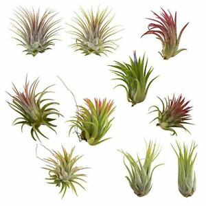 10 Pack Assorted Tillandsia Ionantha Color Changing Air Plants