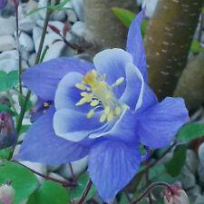 Graines de fleurs vivaces, Ancolie Bleue et Blanche , Aquilegia
