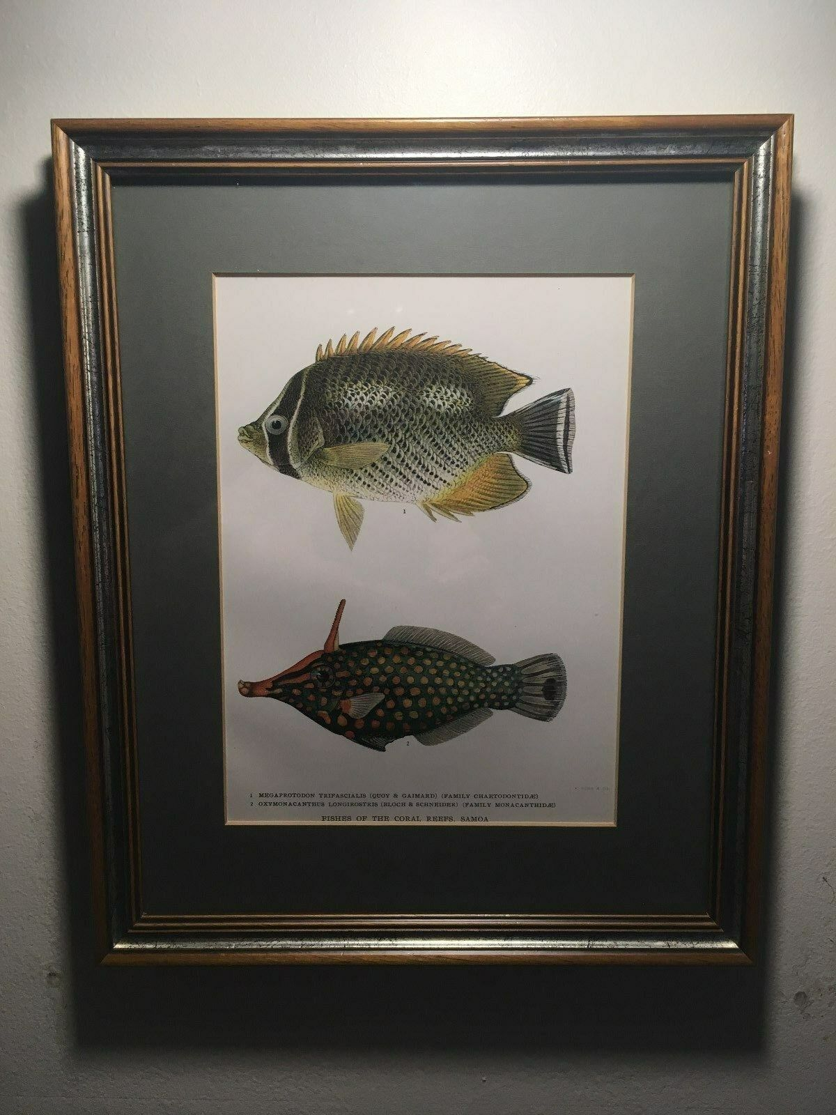 Framed Antique color Lithograph of Fishes of the Coral Reef, Samoa, A. Hoen