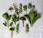 10 Assorted Succulent Cuttings - Drought Tolerant Mixed Plants Succulents Cacti