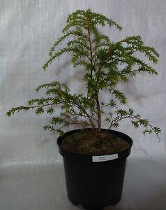 Western Hemlock Tsuga Heterophyllia Bonsai Tree In A 17cm 2 Litre Pot Ebay
