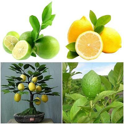 20pcs Edible Fruit Meyer Lemon Seeds Exotic Citrus Bonsai Lemon