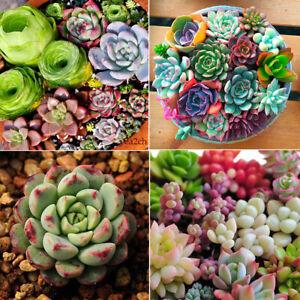 400pc-Mixed-Succulent-Seeds-Cactus-Home-Plant-Lithops-Rare-Living-Stones-Plants