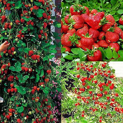 GUT 100pcs rote Erdbeere Klettern Erdbeer Samen Klettererdbeeren Hänge Erdbeere