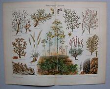 Steppe, Steppenpflanzen. Diverse Darstellungen - Cromolithographie um 1895