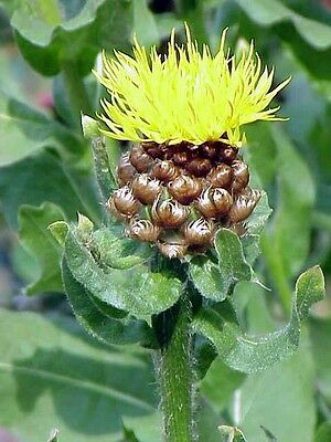 35+ CENTAUREA  MACROCEPHALA FLOWER SEED / PERENNIAL CUT OR DRIED