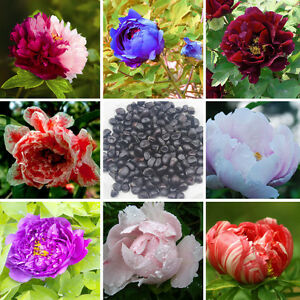 baum strauch pfingstrose paeonia rockii 120 samen mixed seeds p onie tree peony ebay. Black Bedroom Furniture Sets. Home Design Ideas