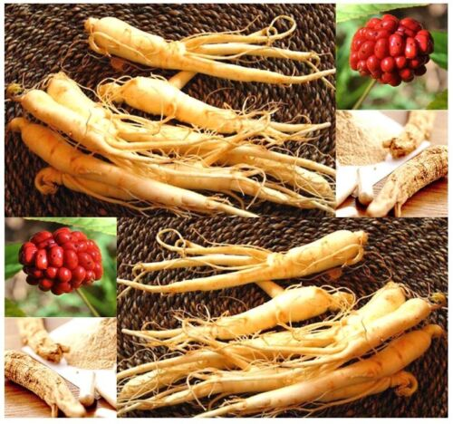 10 Panax ginseng Chinese Ginseng Seeds Combined S/&H MEDICINAL /& HERBAL