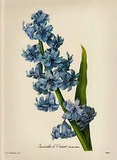 Redoute HYACINTH Botanical Print Blue Flower Gallery Wall Art  pjr 1675