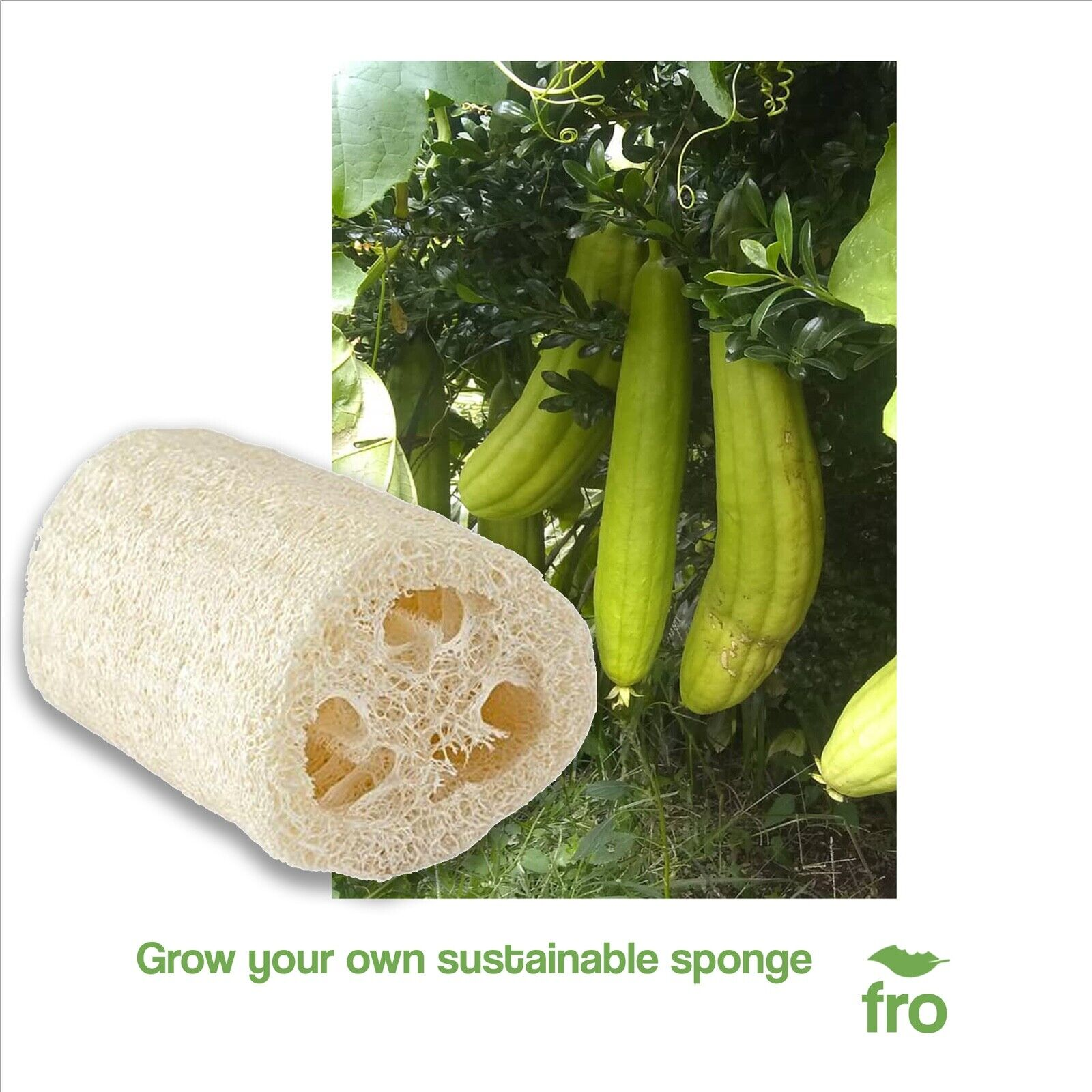 LUFFA SEEDS - NATURAL SPONGE - 25 Seeds - LOOFAH (CYLINDRICA) UK - FREE DELIVERY