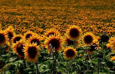 Sunflower Gardening Flowers HD POSTER