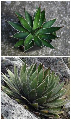 piante grasse,seed succulents 10 semi di Agave garciae-mendozae succulente