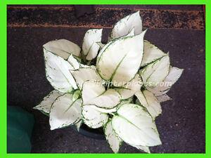 "NEW AGLAONEMA Compact Form ""Super White"" Very White Leaf +Free Phyto RARE"