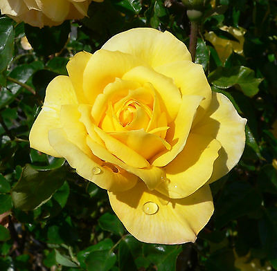 Gold Glow Rose  Live Plant Bare Rooted