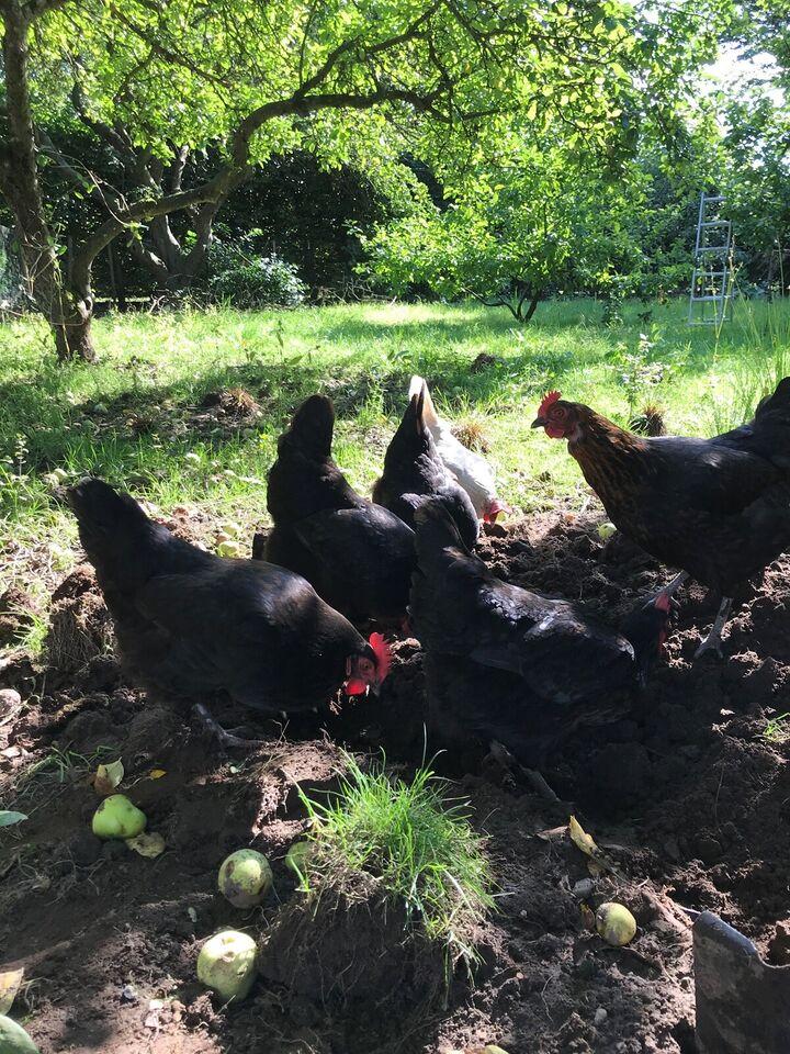 Høns, 5 og 2 stk.