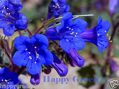CALIFORNIA BLUEBELL - 1100 SEEDS - Phacelia Campanularia  - Bee butterfly