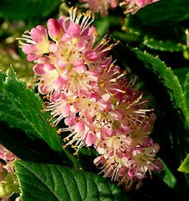 Clethra Alnifolia Ruby Spice Sweet Pepper Bush 9cm Pot