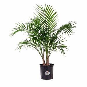 s-l300 Majesty Palm House Plant on majesty palm soil, majesty palm plant, majesty palm hedge, majesty palm fertilizer, majesty palm tree, majesty palm leaves, majesty palm flower, majesty palm family, majesty palm indoor,