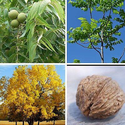 Black Walnut Tree JUGLANS NIGRA nut fruit wildlife food Autumn colours!  Seeds | eBay