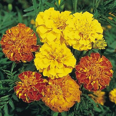 0 5g Appr 150 French Marigold Seeds Liliput Mix Mixed Natural