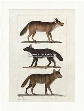 Lobo Negro Wolf mexicano Wolf depredadores perros animal gregario buffon 051