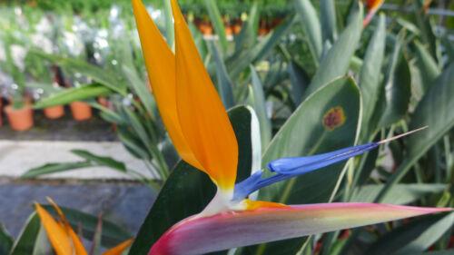 PAPPAGALLI Fiore strclizia reginae strelitzie circa 120 cm Uccelli Paradiso Fiore