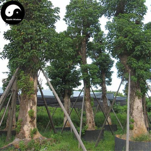Buy Bischofia Polycarpa Tree Seeds Plant Java Bishopwood Chong Yang Mu