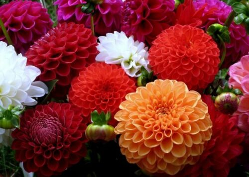 100pcs Zinnia Elegans Seeds Bonsai Plant Tree House Herb Garden Flower Pot Decor