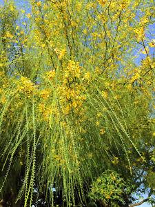 Garten-Pflanzen-Samen-winterharte-Zierpflanze-Saatgut-Baum-JERUSALEMDORN
