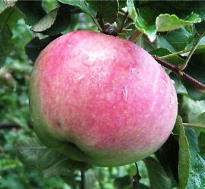 Apfel-034-Aport-034-Alte-Apfelsorte-Apfelbaum-ca-160-200-cm