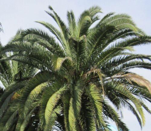anspruchslose Zier-Palme Phoenix canariensis 50 Samen Kanarische Dattelpalme