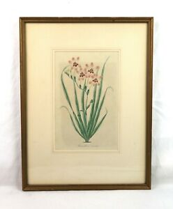 Antique-19th-Century-Botanical-Flower-Floral-Lithograph-Print-1834