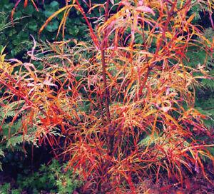 Acer Palmatum Red Pygmy Vaso 8x8 Cm Da Innesto Non Da Talea Gref