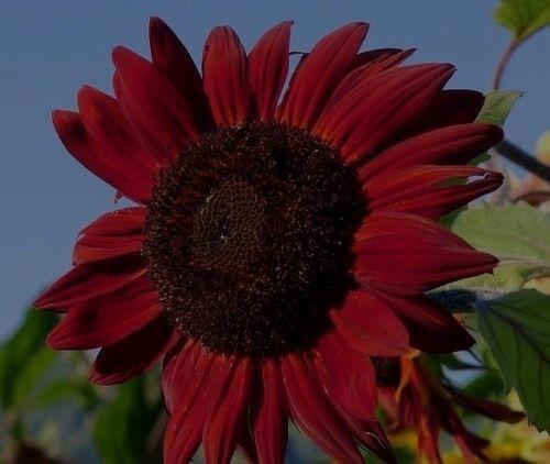 """Sukkulente Blume Samen Schnellwüchsige rote Riesen-Sonnenblume /""""red Queen/"""""""