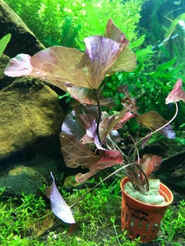 INV FREE Ship! Live Plant Reddish Leaves Rubra Pond Live Fish Koi Lotus Plant