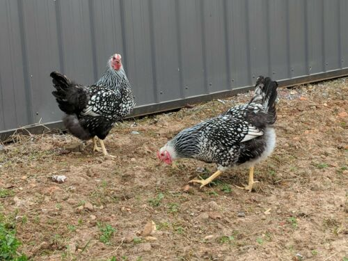 24  Fertile Silver Laced Wyandottes Hatching Eggs NPIP Free Shipping