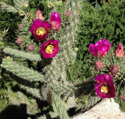 """CHOLLA Pencil or Tree Cactus Purple Flowers New Mexico Native Live Green 6/"""" Arm"""
