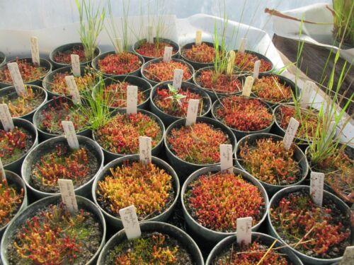 10 Seedling Bundle Hardy Carnivorous Pitcher Plant Unidentified Sarracenia