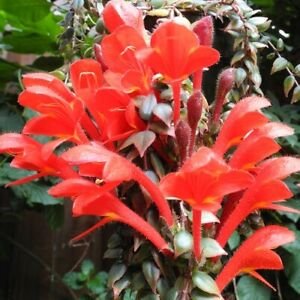 Amazing, rare Columnea arguta! - Unusual African Violet relative - Live plant