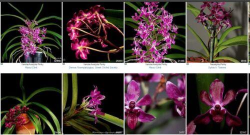 Compact Vanda Vandachostylis Pinky 'Takahashi' Compact Orchid NEO Fragrant