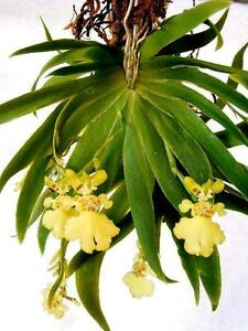 Rare-orchid-species-bloom-size-Oncidium-psygmorchis-pussila