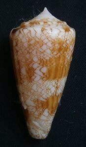 Conidae-Conus-glorioceanus-43-2mm-F-big-size-rare-shell-Philippines