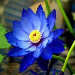 5Pcs Bali Red Lotus Seeds Rare Nelumbo Plant Seeds Aquatic Water Lilly Flower