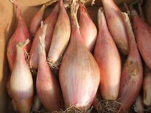 Zebrune Vegetable Shallot 175 Seeds