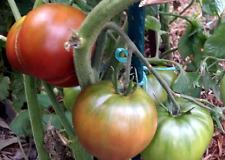 Dwarf Wild Red Fred Tomato - 10 Seeds!