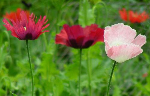 GroCo 85 seeds poppy PEPPERBOX MIX flower